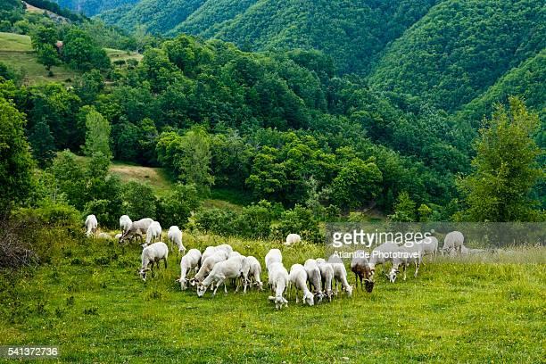 sheep grazing on hillside - pascolo foto e immagini stock