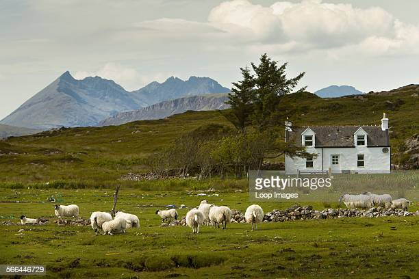 Sheep grazing on the Isle of Skye