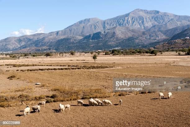 Sheep grazing on the Lasithi plateau Crete Greece