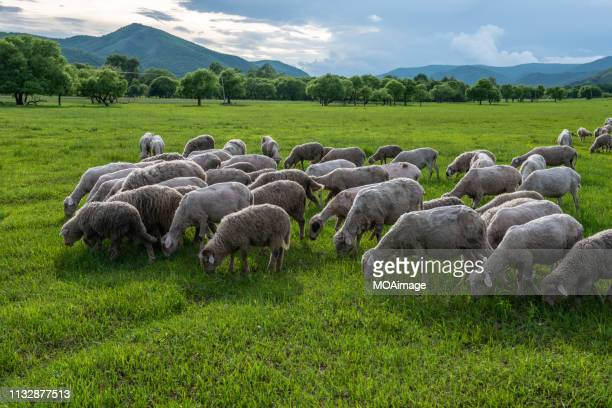 sheep grazing on the pasture,inner mongolia,china - 羊の群 ストックフォトと画像