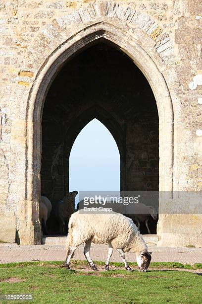 sheep grazing outside st. michael's tower on top of glastonbury tor, somerset, england, uk - 2010 stock pictures, royalty-free photos & images
