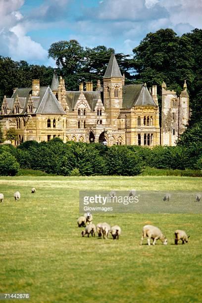 Sheep grazing outside the Ettington Park Hotel near Stratford, England