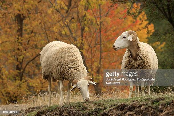 sheep grazing - fotógrafo stock photos and pictures