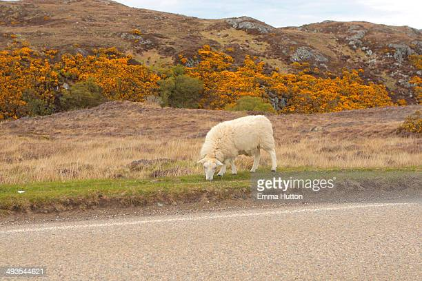 sheep grazing - hutton stock photos and pictures
