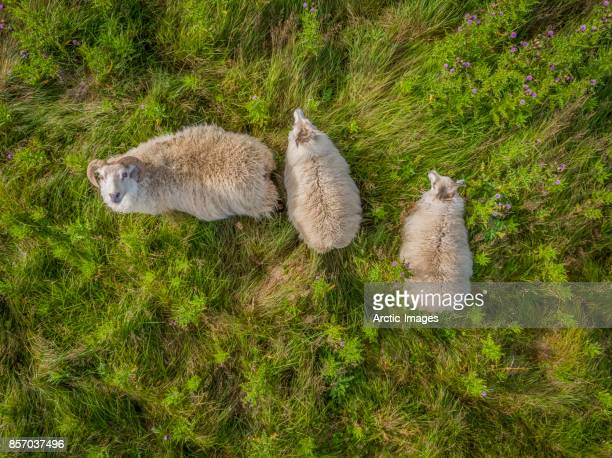 sheep grazing - mammal stock pictures, royalty-free photos & images