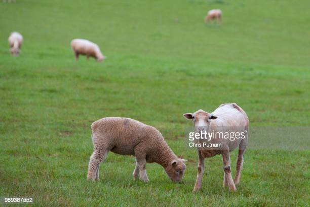 sheep grazing - chris putnam stock pictures, royalty-free photos & images