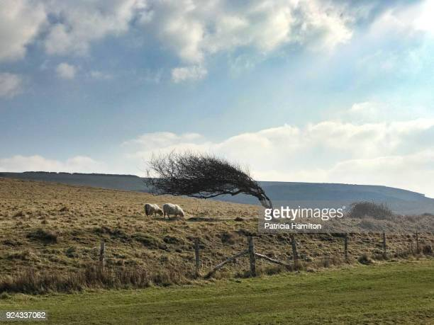 sheep grazing under a windswept tree, south downs - torto imagens e fotografias de stock