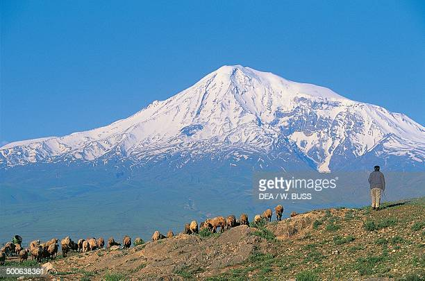 Sheep grazing with Mount Ararat in the background near Khor Virap Armenia
