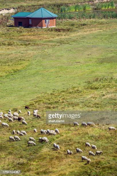 sheep group flock in grass field on spring at kashmir, india. - shaifulzamri stock pictures, royalty-free photos & images