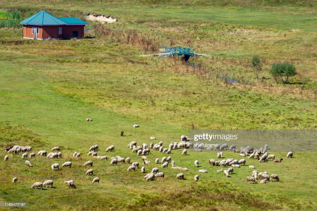 Sheep group flock in grass field on spring sunset at Kashmir, India. : Stock Photo
