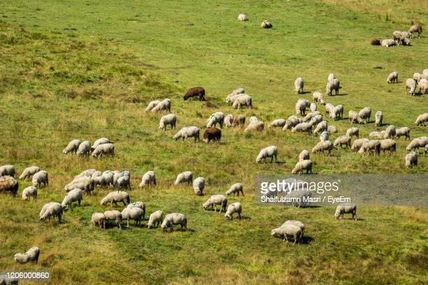 sheep group flock in grass field on spring sunset at kashmir, india. - shaifulzamri eyeem stock pictures, royalty-free photos & images