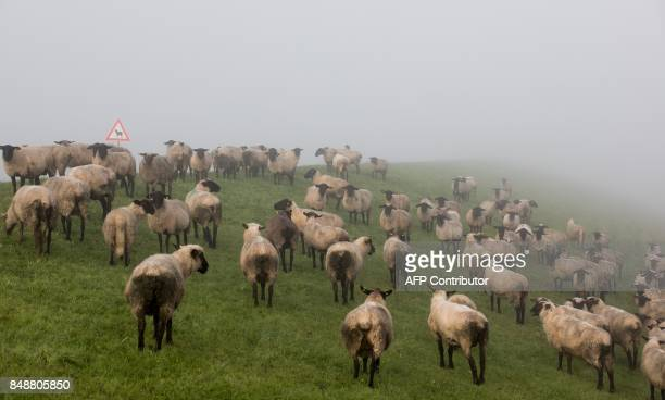 A sheep herd grazes in Hamburg near Moorfleet on a foggy September 18 2017 / AFP PHOTO / dpa / Christian Charisius / Germany OUT