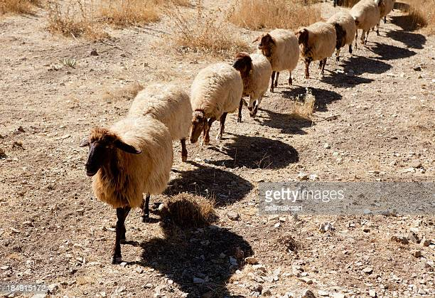 Sheep herd in drought walking in line and repetition