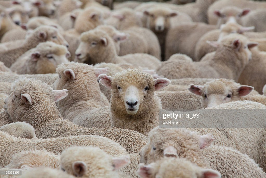Sheep Herd in New Zealand 2 : Stock Photo