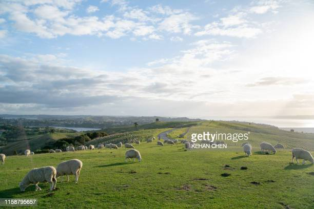 sheep herd in new zealand  in a landscape in the farm - new zealand bildbanksfoton och bilder