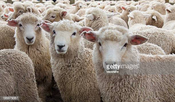 Sheep Herd in New Zealand