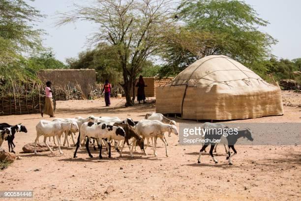 sheep herd passing a village close to agadez niger - afrika afrika stock pictures, royalty-free photos & images