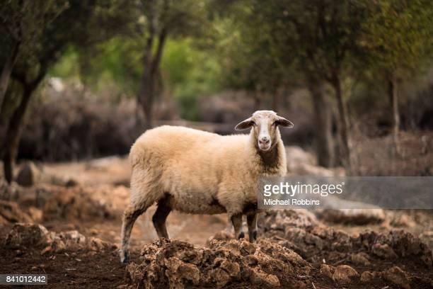 sheep herd - animal macho fotografías e imágenes de stock