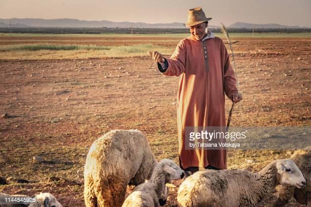 sheep herd with smiling shepherd in traditional clothing - pastora vega fotografías e imágenes de stock