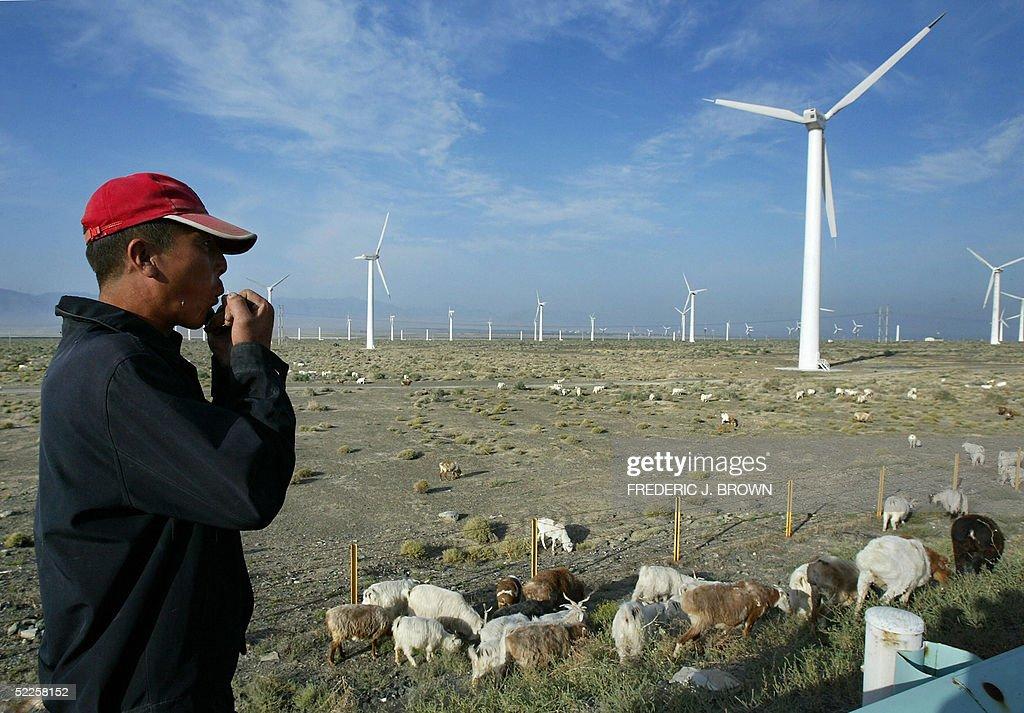 A sheep herder whistles as he follows hi : News Photo
