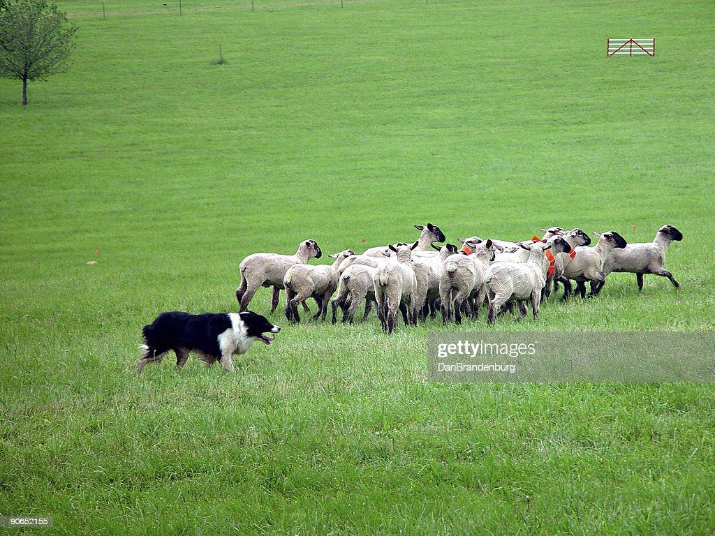 Sheep Herding : Stock Photo