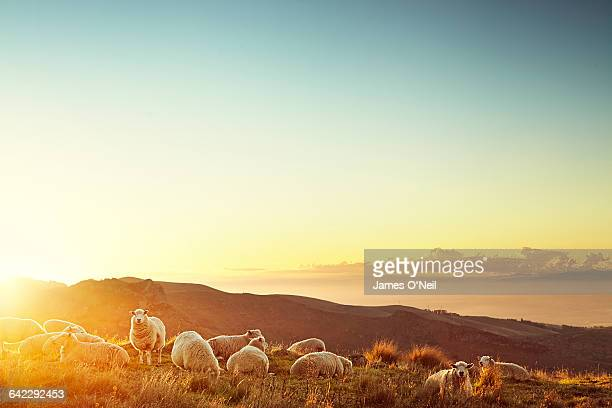 sheep in a field at sunset - ovino foto e immagini stock