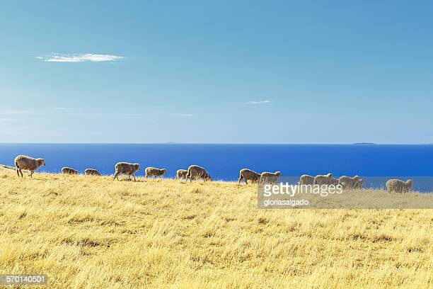 Sheep in a field, Kangaroo Island, Australia
