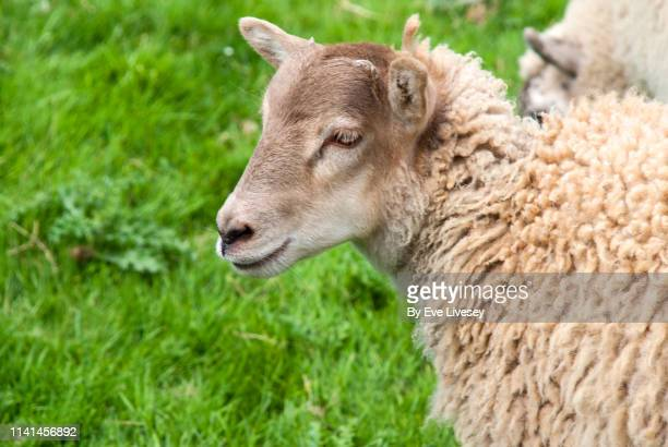sheep in a field of green grass - wool stock pictures, royalty-free photos & images