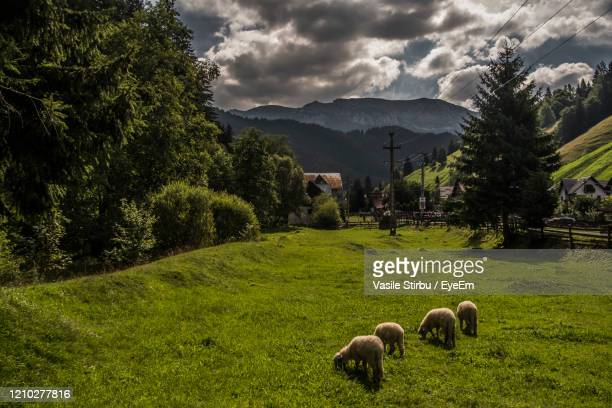 sheep in a field - romania stock pictures, royalty-free photos & images
