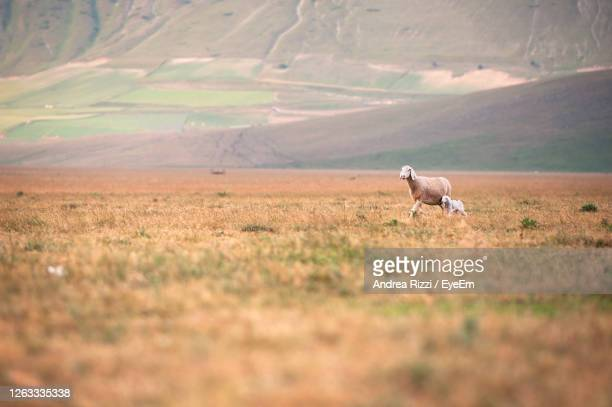 sheep in a field - andrea rizzi stockfoto's en -beelden