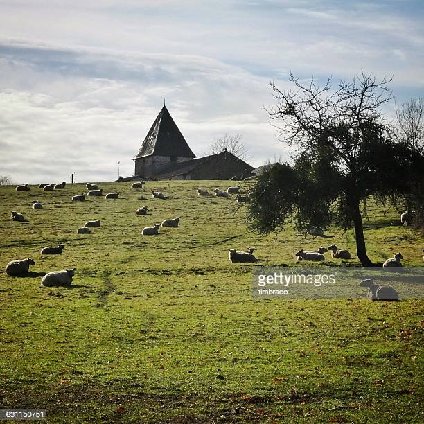 sheep in a field with church in background, confolens, charente, france - シャラント ストックフォトと画像