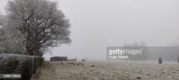 sheep in a frosty field in winter. southern england. - hugh threlfall stock pictures, royalty-free photos & images