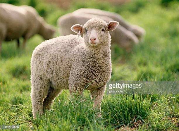 Sheep in a pasture, Otofuke, Hokkaido, Japan