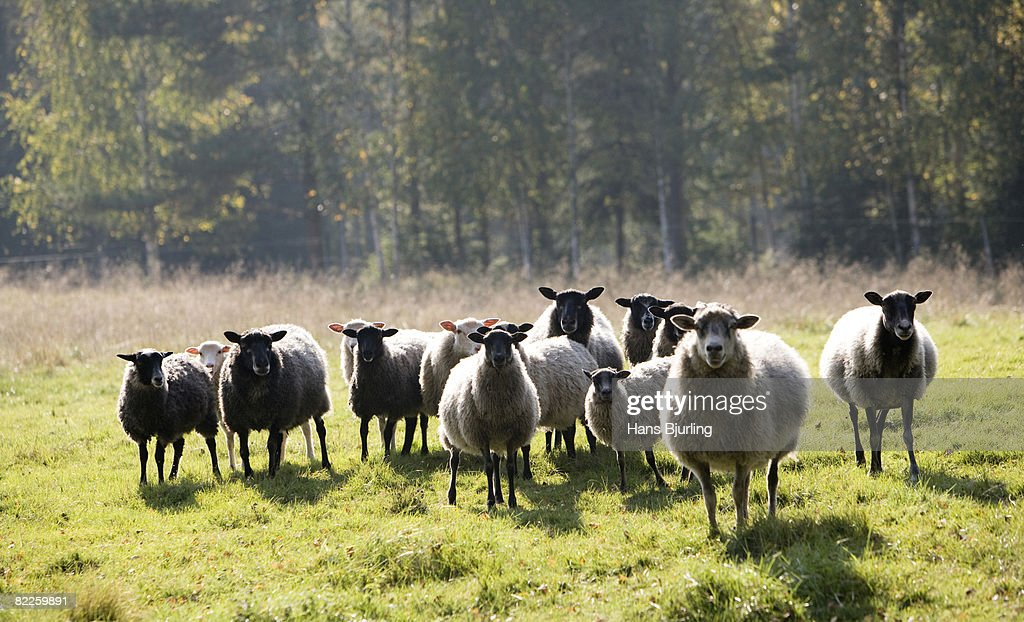 Sheep in a pasture Sweden. : Stock Photo