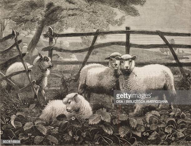 Sheep in a strawberry field from the painting by Thomas George Cooper illustration from the magazine The Graphic volume XX no 502 July 12 1879