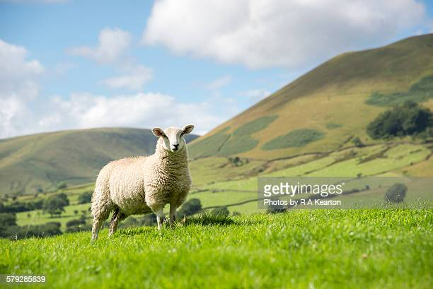 sheep in a sunny summer landscape - ovino foto e immagini stock