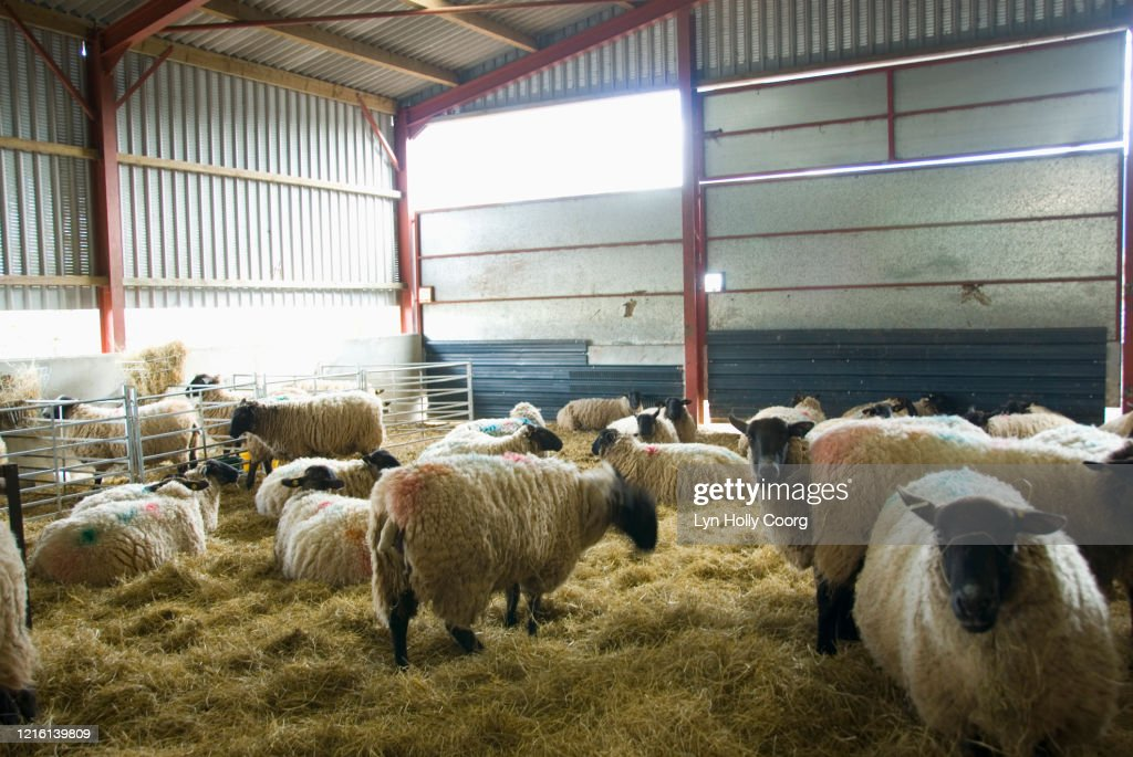 Sheep in barn with hay : Stock Photo