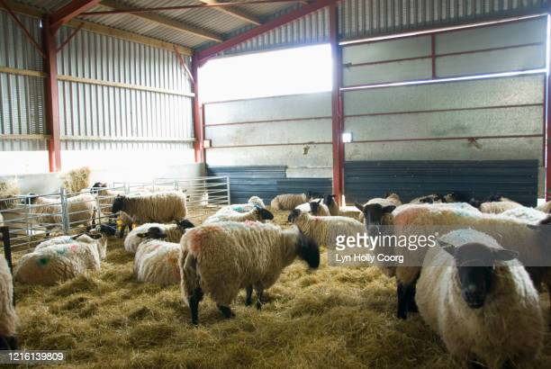 sheep in barn with hay - lyn holly coorg stock pictures, royalty-free photos & images