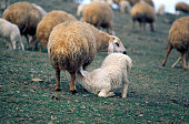lamb breastfeeding near city ankara turkey