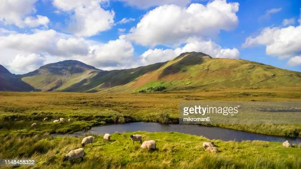 Sheep in Connemara National Park, County Galway, Republic of Ireland, Europe
