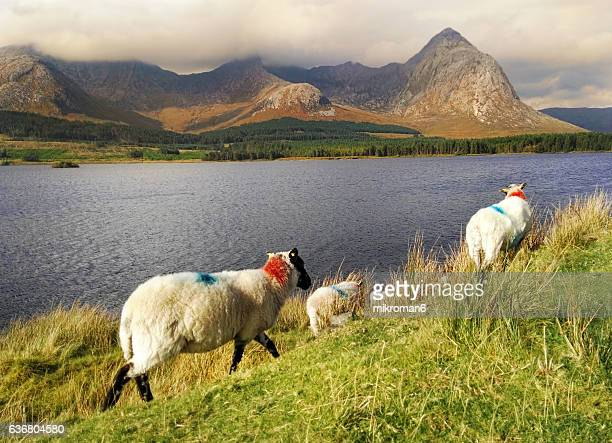 Sheep in Connemara National Park, County Galway, Republic of Ireland, Europe