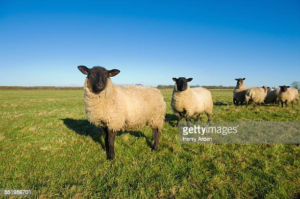 Sheep in countryside