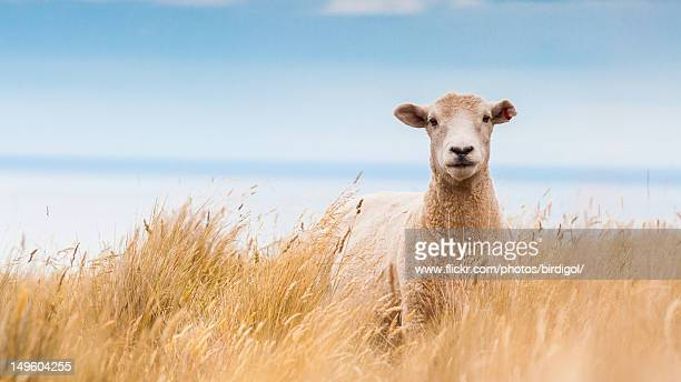 Sheep in dry grass