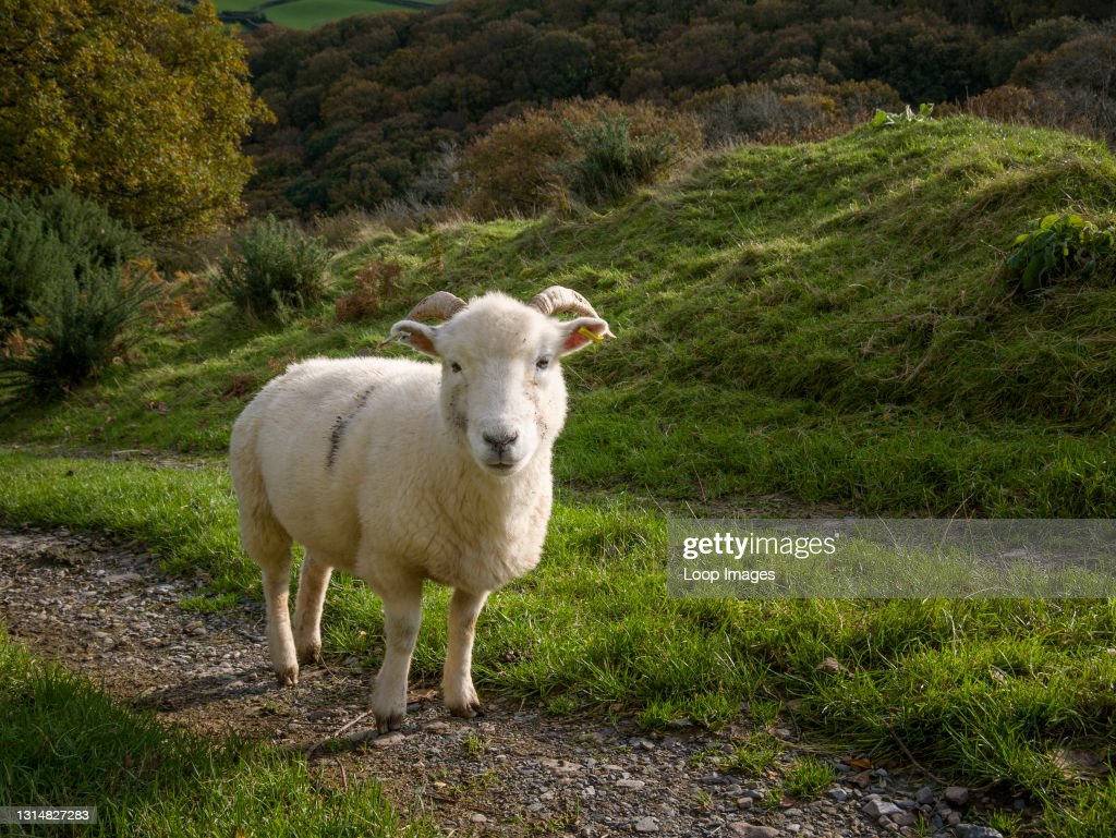A sheep in Exmoor National Park : News Photo