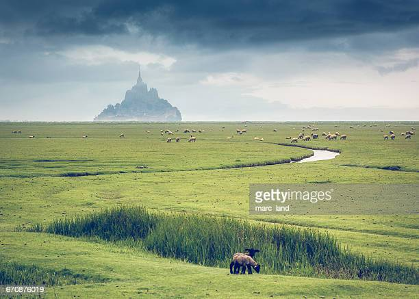 Sheep in field in front of Mont Saint-Michel, Normandy, France