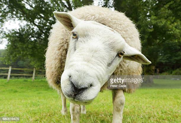 sheep in field looking at camera - ovino foto e immagini stock
