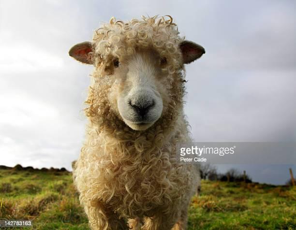 sheep in field - schaf stock-fotos und bilder