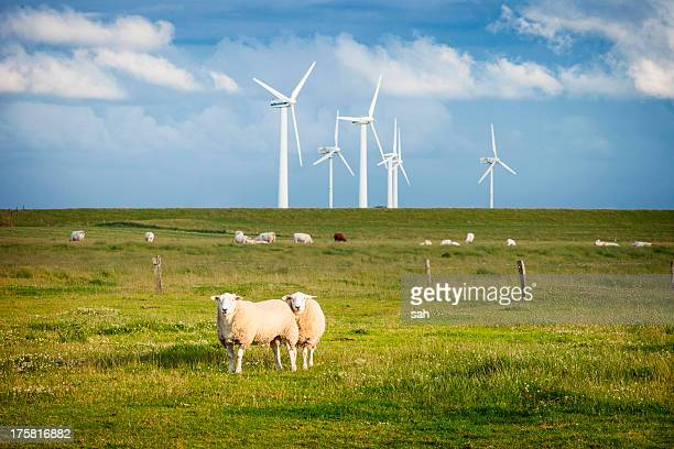Sheep in field with windfarm, Schleswig Holstein, Germany
