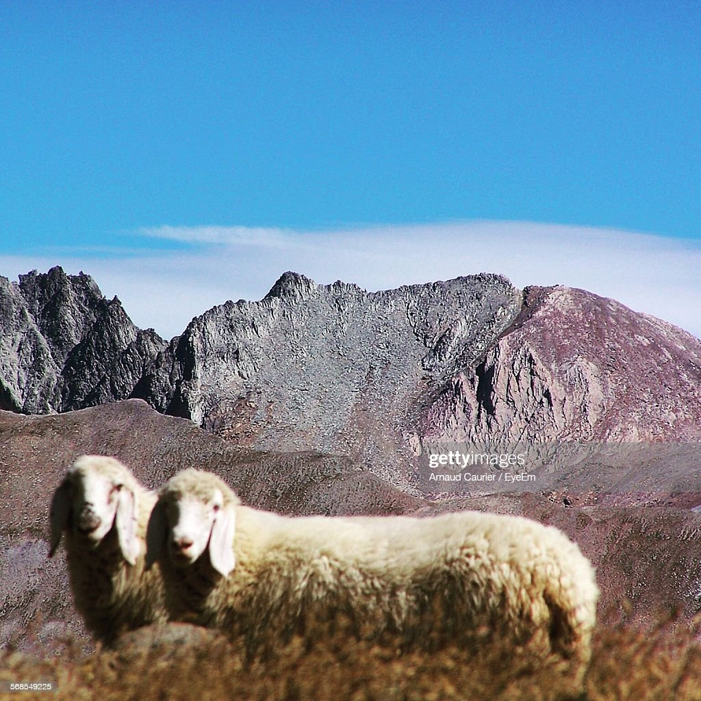 Sheep In Front Of Rocky Mountains Against Blue Sky : Stock Photo