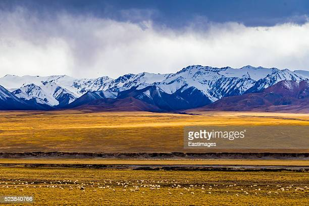 Sheep in grassland at foot of barren hill/Qinghai-Tibet Platea,China.